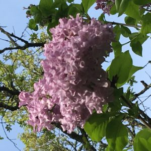The beauty of spring lilacs